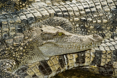 animal animais crocodilo anfibios repteis crocodilos