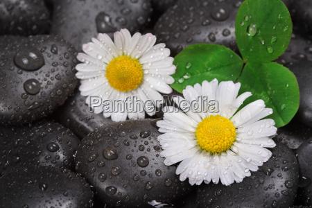 daisy em pedras molhadas