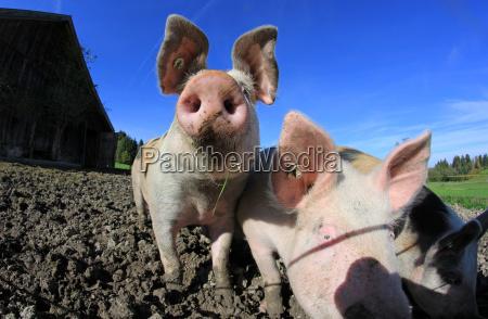 tres porcos na exploracao agricola