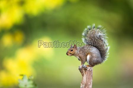 esquilo cinzento oriental carolinensis do sciurus