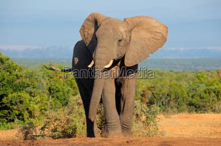 grande touro do elefante africano africana