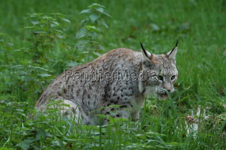 gato predador lince ressaca