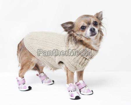 chihuahua com roupas de inverno