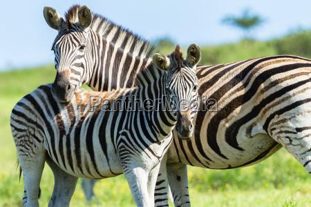 animais selvagens da vitela da zebra