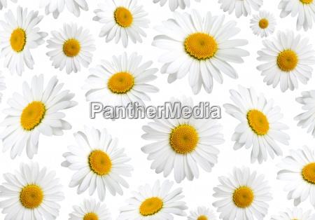 flores da textura da camomila em