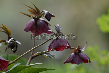 christrose, , helleborus, niger, , , nieswurz, , schneerose - 13285440