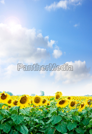 girassois amarelos