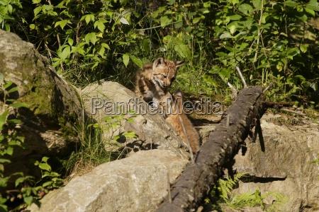 perfil mamifero curioso inquisitivo gatos lado