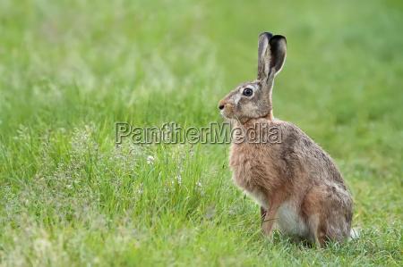 animal animais ver lebre clareira prado