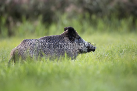 javali, selvagem, na, natureza, em, uma, clareira - 13704514