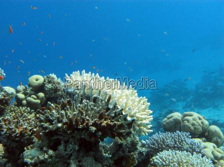 recife coral com coral rochoso branco