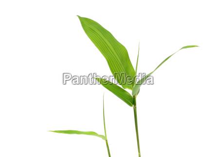 arvore asia folhas bambu peciolo crescer