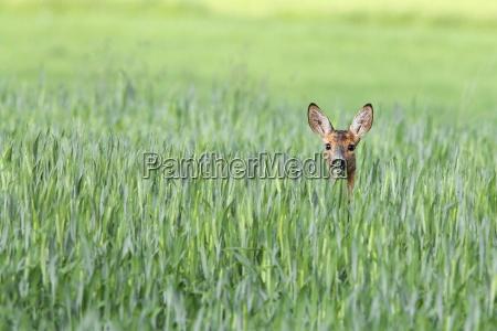 roe cervos em um clearing