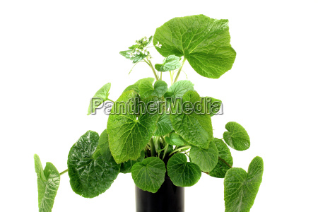 wasabi leaves with white flowers