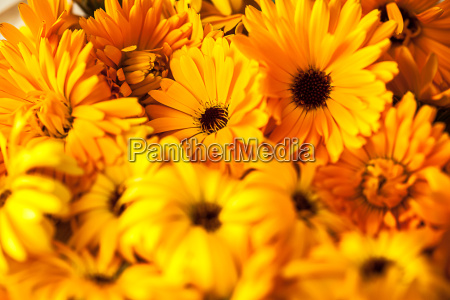 marigold officinalis do calendula