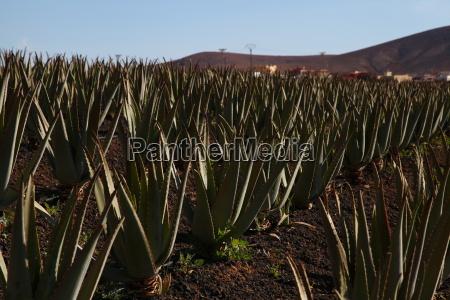 canário, plantas medicinais, planta, ilha, canárias - 14133139