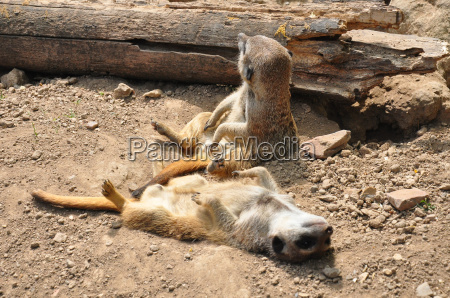 meerkat suricatta do suricata