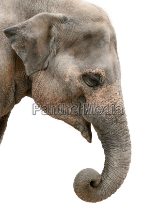 retrato do perfil de um elefante