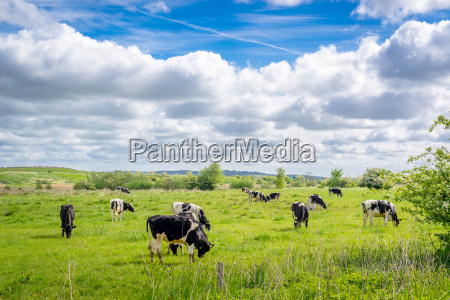 cows grazing in the summertime