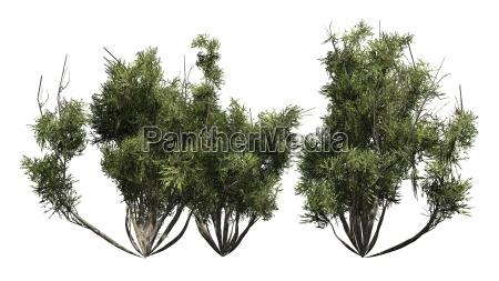 arvore arbusto oliva africano palido planta
