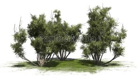 arbusto de azeitona africano no
