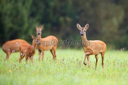 animal mamifero animais selvagens veado clareira