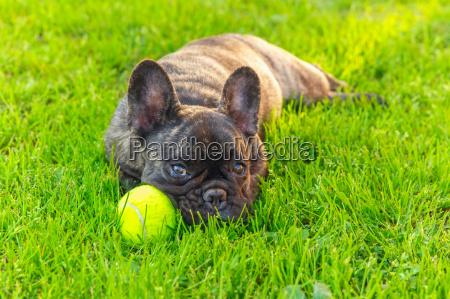 cao domestico bonito brindle bulldog frances