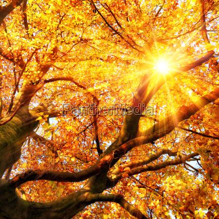 the autumn sun shining through golden