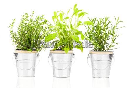 salvia tomilho e alecrim planta erva
