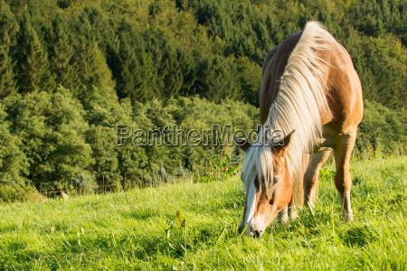 haflinger cavalo pasta em um belo