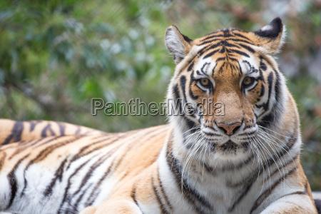 perigo gato tigre ressaca listra