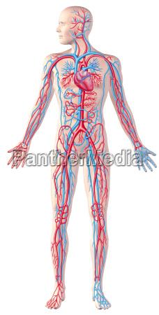 sistema circulatorio humano figura cheia ilustracao