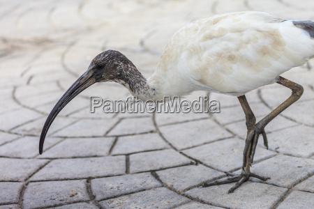 passaro ibis australiano branco