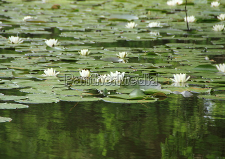 waterlily branco no lago com reflexao