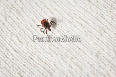 carrapato porta sangue aracnideo parasita