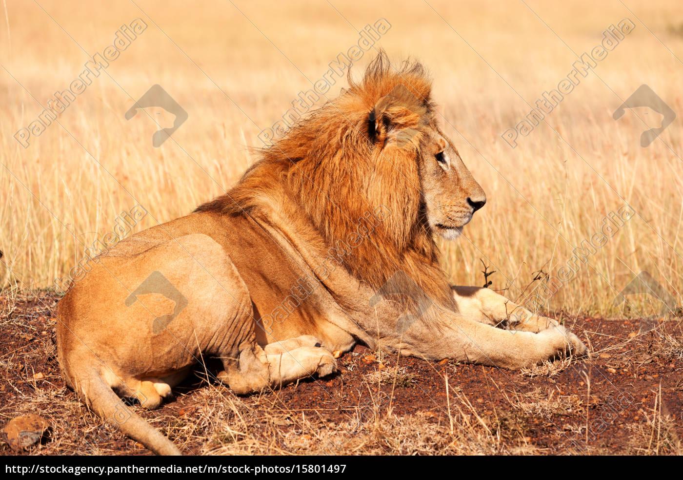 leão, masculino, no, masai, mara, leão, masculino - 15801497