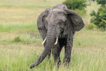 africa elefante quenia presa savana animais
