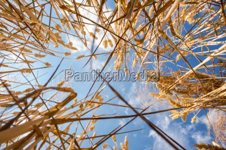 azul agricultura campo verao trigo nuvens