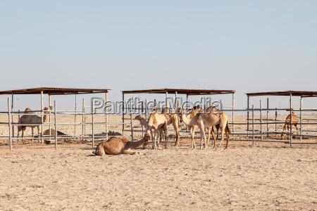 camel farm in qatar