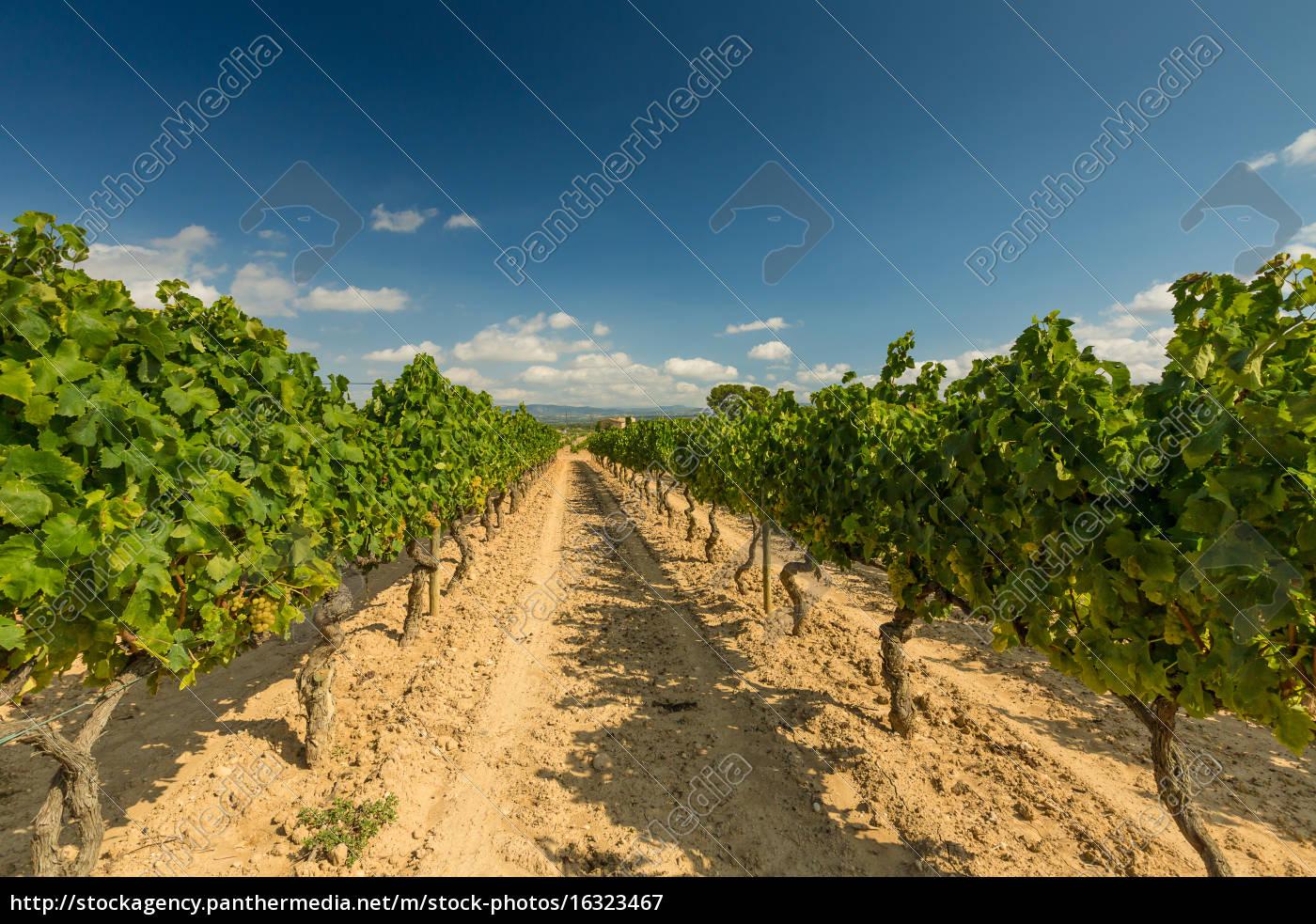 vinhedos, com, colheita, de, uvas, brancas - 16323467