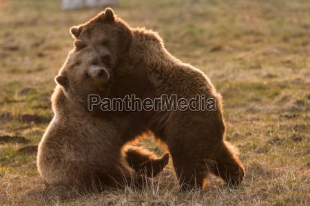 amizade urso coesao amor amatorio caiu
