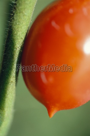 tomato on vine extreme close up