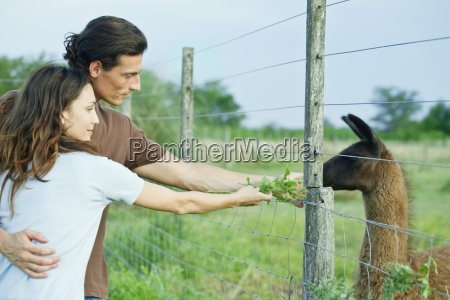 couple feeding llama through fence