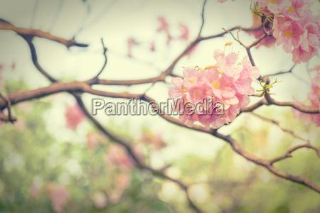 flor cor de rosa da trombeta
