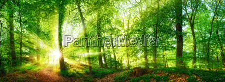 panorama da floresta com raias de