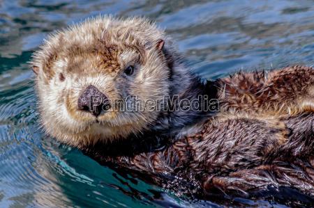 lontra do mar