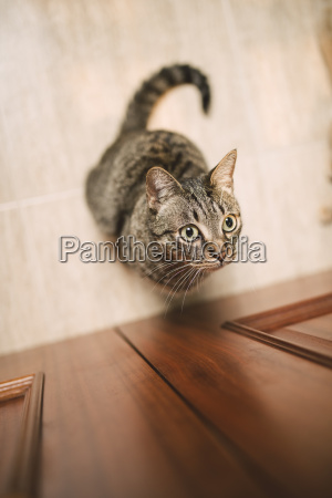 portrait of tabby cat waiting in