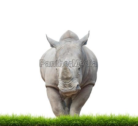 rinocerontes brancos rinocerontes de bico quadrado