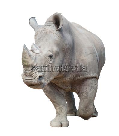 rinoceronte brancos isolados