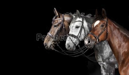 fundo preto da colagem dos cavalos